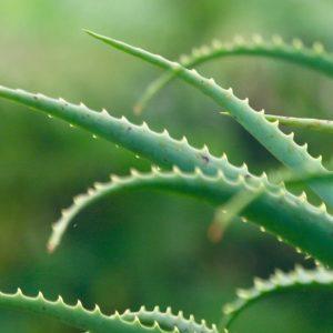 Histoire de l'utilisation de l'Aloe vera en phytothérapie