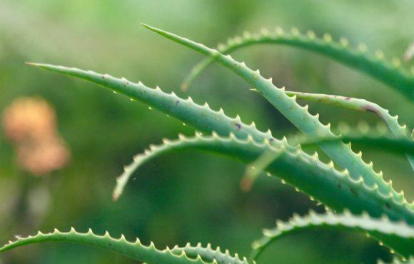 تاريخ استخدام الألوفيرا في طب الأعشاب